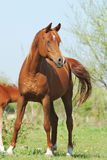 Beautiful arabian mare on pasture Royalty Free Stock Photo