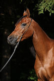 Beautiful arabian mare Royalty Free Stock Images
