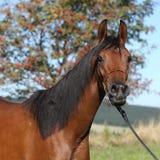 Beautiful arabian mare Stock Images