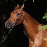 Beautiful arabian mare Stock Photos