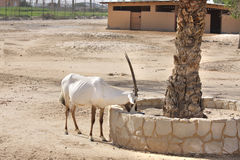 Beautiful Arabian Oryx eating food Stock Images