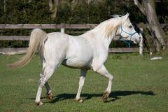 Beautiful arabian running on pasture Royalty Free Stock Image