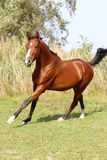 Beautiful arabian stallion galloping on summer pasture Royalty Free Stock Images