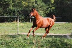 Beautiful arabian stallion galloping on summer pasture Stock Photos