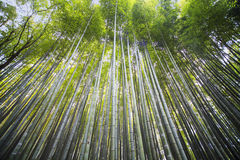Beautiful Arashiyama Bamboo forest in Kyoto, Japan. The beautiful Arashiyama Bamboo forest in Kyoto, Japan Stock Photography