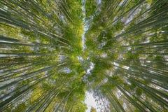 Beautiful Arashiyama Bamboo Groove. In Kyoto, Japan Stock Photo