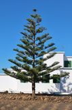A beautiful Araucaria on Lanzarote, Spain. Araucaria, field and typical white house on Lanzarote, Canary Islands, Spain Stock Image