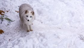 Beautiful Arctic Fox with the most beautiful blue eyes of the world royalty free stock photos