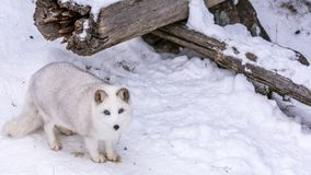 Beautiful Arctic Fox with the most beautiful blue eyes of the world stock image