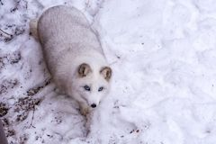 Beautiful Arctic Fox with the most beautiful blue eyes of the world royalty free stock image