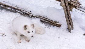Beautiful Arctic Fox with piercing brown eyes royalty free stock images