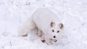Beautiful Arctic Fox with piercing brown eyes royalty free stock photo