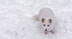 Beautiful Arctic Fox with piercing brown eyes stock photography