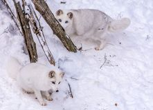 Beautiful arctic fox playing hide and seek stock photo