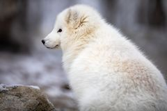 Beautiful arctic fox in white winter coat sitting royalty free stock photography