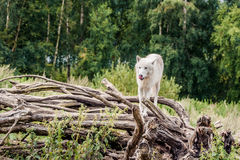 Beautiful arctic wolf standing on a tree Royalty Free Stock Photography