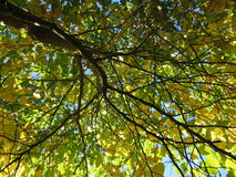 Beautiful arrangement of branches and leaves. This is starting of fall and the leaves look beautiful from beneath stock photography