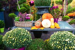 Outdoor autumn flower decoration on table, different yellow and orange pumpkins, white mums - chrysanthemum - flowers in baskets