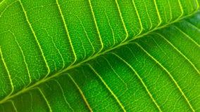 Leaf veins diagonal Royalty Free Stock Photography