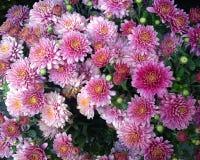 Beautiful arrangement of pink chrysanthemums Stock Photo