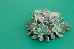 Beautiful arrangement of rare succulent flowers, stone rose, echeveria, pachyveria on green background, soft colors stock photo