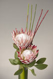 A beautiful arrangement of two king Proteas Royalty Free Stock Photography