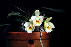 Beautiful arrangement of white orchid flower. Wonderful tropical white vase of orchid flowers Royalty Free Stock Image