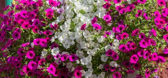 Beautiful array of pink and white petunias decorating window boxed. In Germany royalty free stock image