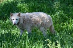 Artic wolf in a green field. Beautiful artic wolf in a green field stock photo