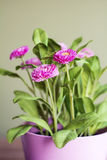 Beautiful artificial pink flowers in pink pot Royalty Free Stock Image