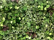 Beautiful artificial plant wall background Royalty Free Stock Photography