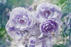 Beautiful artistic background with violet roses Stock Photos
