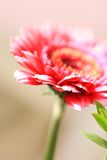 Beautiful, artistic gerbera flower Stock Image