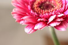 Beautiful, artistic gerbera flower Stock Photography