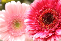 Beautiful, artistic gerbera flower Stock Photos