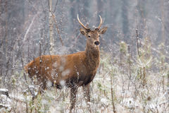 Beautiful artwork of lonely young deer standing in a belorussian forest under first snow  falling. Stock Photos