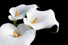 Beautiful Arum Lilly Royalty Free Stock Photo