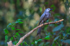 Beautiful ashy drongo (Dicrurus leucophaeus). Perching on a branch Stock Photos