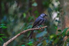 Beautiful ashy drongo (Dicrurus leucophaeus). Perching on a branch Stock Images