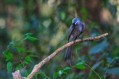 Beautiful ashy drongo (Dicrurus leucophaeus). Perching on a branch Stock Photo
