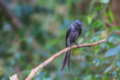 Beautiful ashy drongo (Dicrurus leucophaeus). Perching on a branch Royalty Free Stock Photography