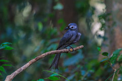Beautiful ashy drongo (Dicrurus leucophaeus). Perching on a branch Royalty Free Stock Photo