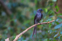 Beautiful ashy drongo (Dicrurus leucophaeus). Perching on a branch Royalty Free Stock Image