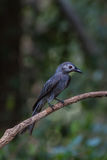 Beautiful ashy drongo (Dicrurus leucophaeus). Perching on a branch Stock Image
