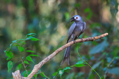 Beautiful ashy drongo (Dicrurus leucophaeus) Stock Image