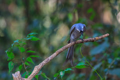 Beautiful ashy drongo (Dicrurus leucophaeus) Stock Images