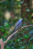 Beautiful ashy drongo (Dicrurus leucophaeus) Stock Photography