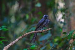Beautiful ashy drongo (Dicrurus leucophaeus) Stock Photo