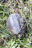 Beautiful Asian Box Turtle Stock Photos