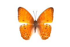 Beautiful Asian Butterfly Royalty Free Stock Photo